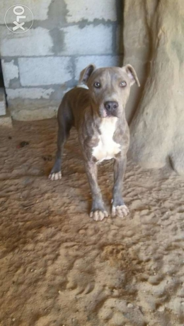 pitbull blue tigree جبيل -  3
