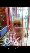 Amazing persian cat imported