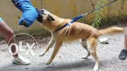Trained malinois for sale