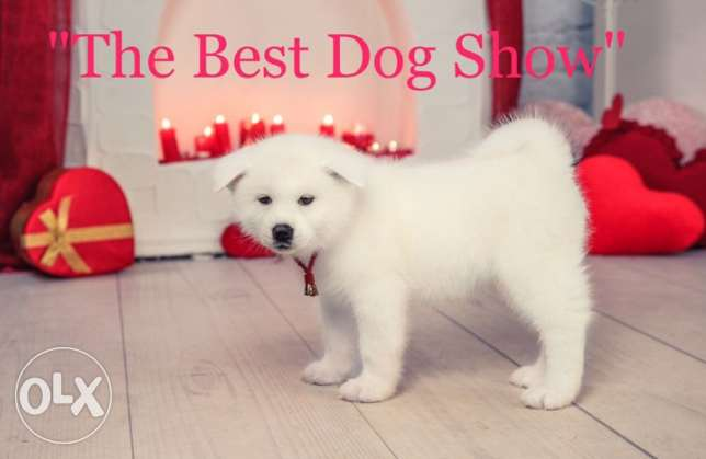 Akita for sale and we have all kinds of dog breeds for our customers