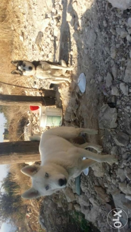 2 dogs male and femal pure husky دامور -  1