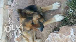 German shepperd dog 7elo ktir u2 3a2el