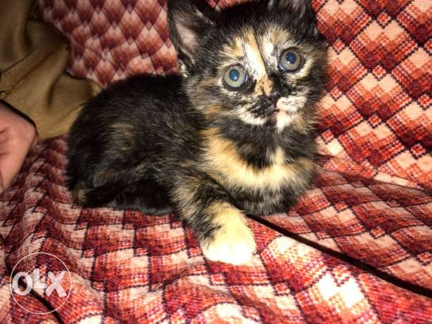 1 month and a half old female kitten