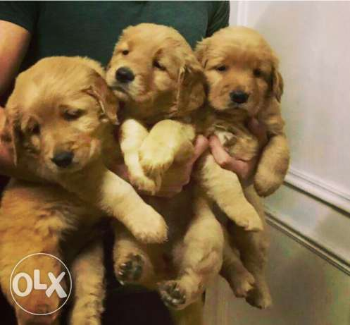 Inported chocolate Golden retriever puppies for sale