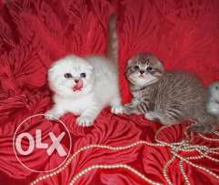 Adorable Scottish fold kittens are available now