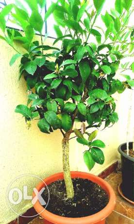 Lemon Tree 90$