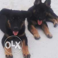 2 german shepherd