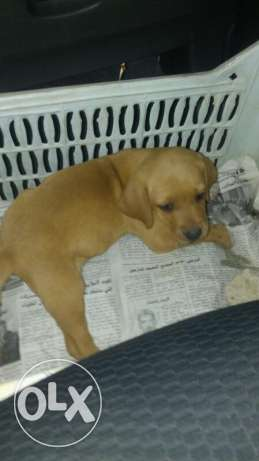 Vizla puppy for sale