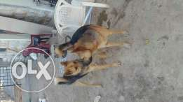 Dog for salee or trade