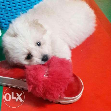 bichon for sale..vaccinated+all can dog needs..