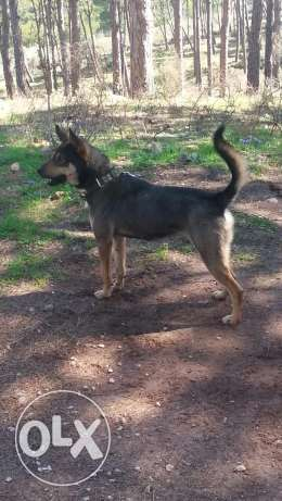 german sheperd mixed breed for sale 200 dollar verry xute and freindl