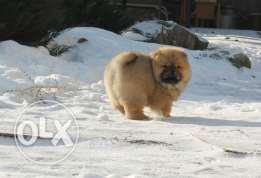 Imported ChowChow puppy