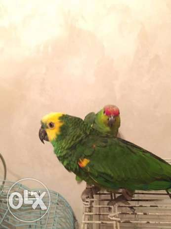 Hand tamed Amazon parrots