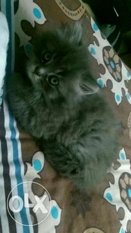2 month cat for sale