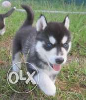 Siberian husky puppies 2 month special offer