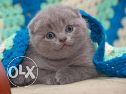 Grey Scottish fold imported