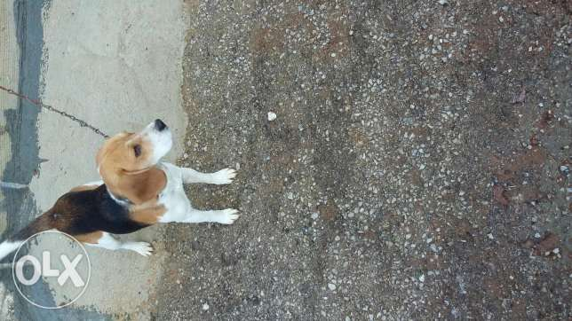 beagle for sale or trade 1 year old mdarab w mkhalas t3oumto for sale بكفيا -  2