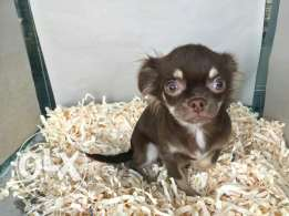 Chihuahua longhair for sale