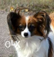 Imported Papillon puppies