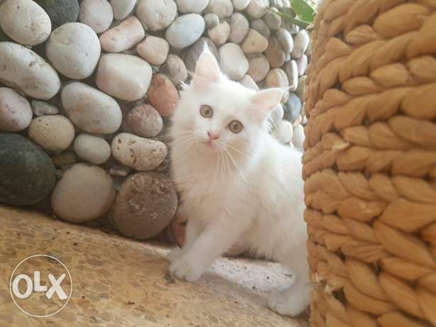 Cute white cat for sale
