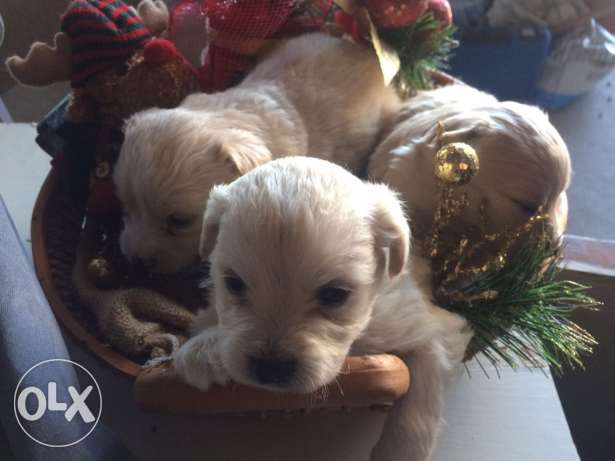 Loulou Spitz Puppies Ideal Gift for Christmas انطلياس -  2