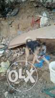 Garmany chapper dog 8month very cut dig and hes very hi