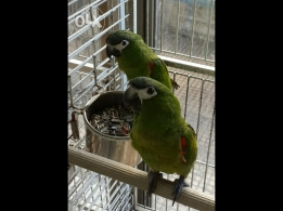 Hahns Macaw Parrot Pair For sale