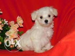 Bishon Puppies For sale