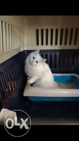 shirazi cats for sale