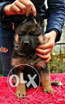 Imported Pedigree german shepherd puppies