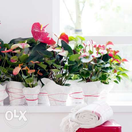Crazy offer anthurium plants for only 10$