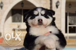 Huskies for sale ( 4 left )
