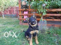 Imported German shepherd male puppy with pedigree