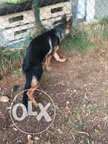 German shepherd dog his very nice and vaccinated he's 7 month old