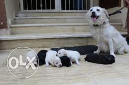 loulou puppies for sale
