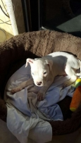 Dogo Argentino puppy for sale