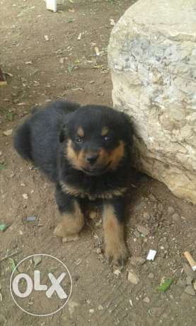 Rottweiller female&male for sale