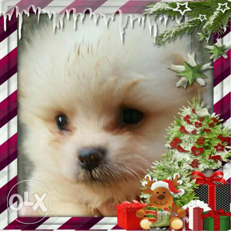 Pomeranian dogs for sale أشرفية -  2