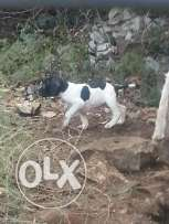 Pointer for sale