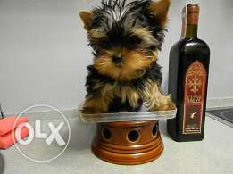 Imported Teacup Yorkshire Puppy