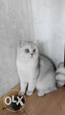 Wonderful green eyed British shorthair color shanshila color code ns11