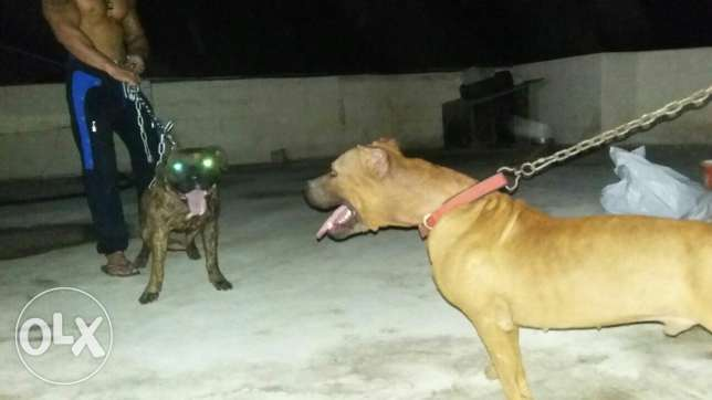 Pitbull ( boyka) very strong dog خلدة -  6