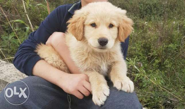 Golden retrieve puppy