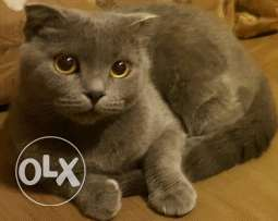 scottish fold cat - 6 months