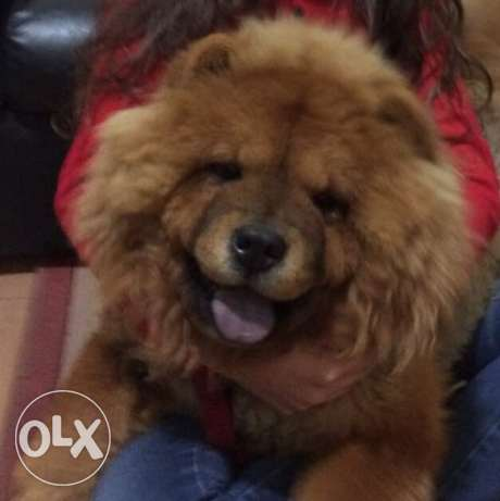 Chowchow female for sale