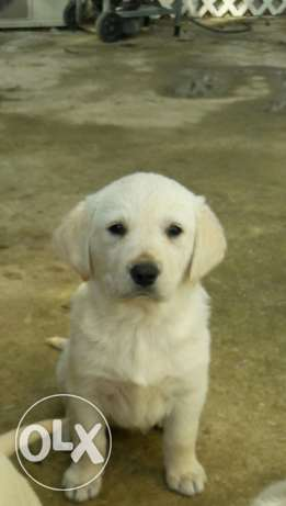 Pur Golden retriever for sale