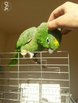 Tamed mealy amazon parrot