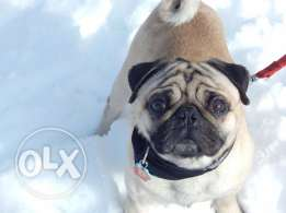 Looking for female pug for breeding