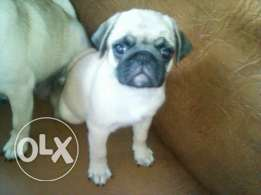 Imported Pug puppies available from AlphaPets