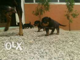 New little puppies rottweiler for sale